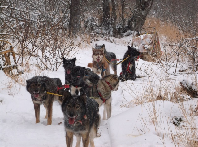 Small teams of powerful dogs are best for hauling wood.  This team is an even mix of adults and yearlings.